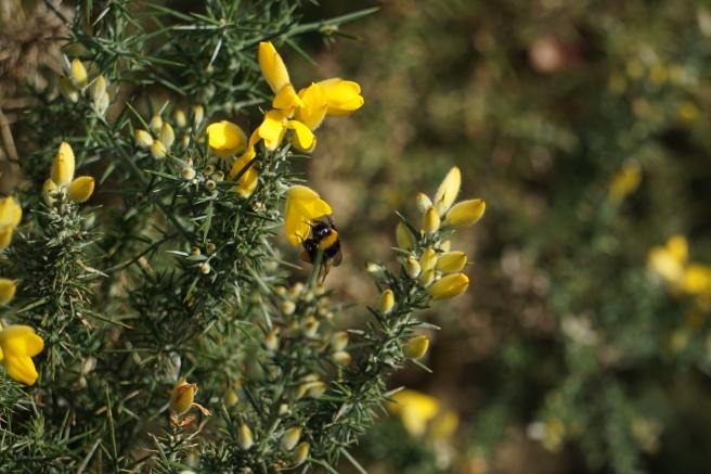 buff-tailed bumblebee.JPG