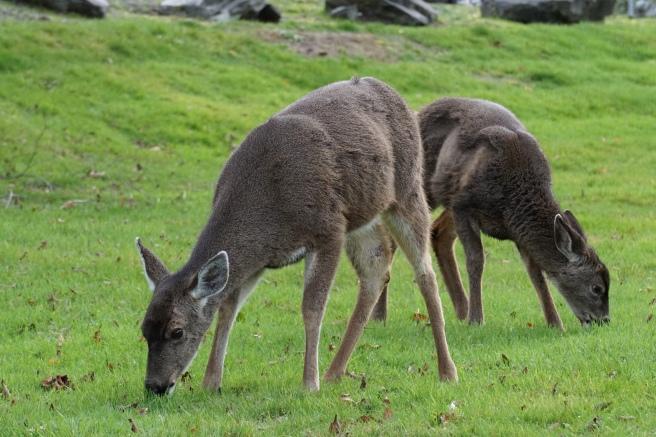black-tailed deer.JPG